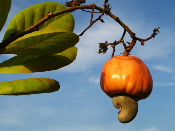 cashew fruit hanging from tree limb